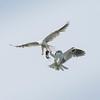 White-tailed Kites passing food