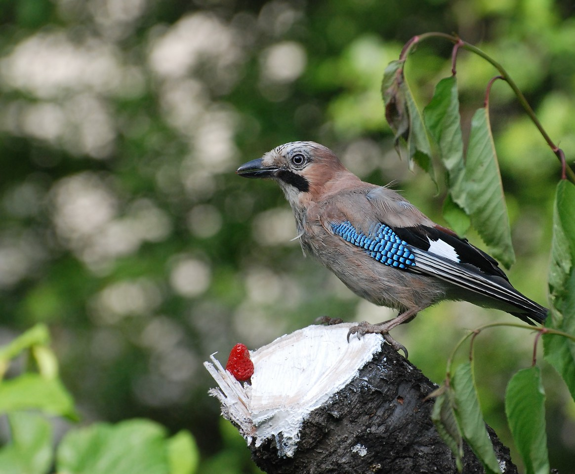 The jay was attracted by the red color of the srawberry, tried it, did not like it and flew away. If you look closely you will see a coiple of red cells in her beak. The net result I fool her and manage to get a good shot.