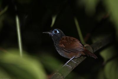 Chestnut-backed-Antbird_Drake-Bay_CostaRica-1120