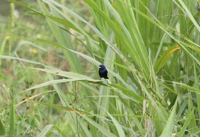 Blue-black-Grassquit_Quepos_CostaRica-0158