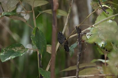Black-hooded-Antshrike_Drake-Bay_CostaRica-1105