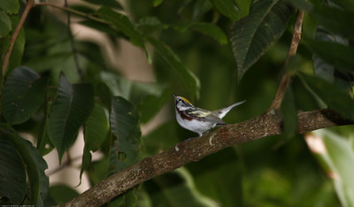 Chestnut-sided-Warbler_Rio-Tico_CostaRica-1680