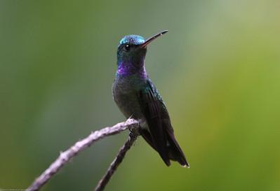 Charming-Hummingbird_Rio-Tico_CostaRica-1553