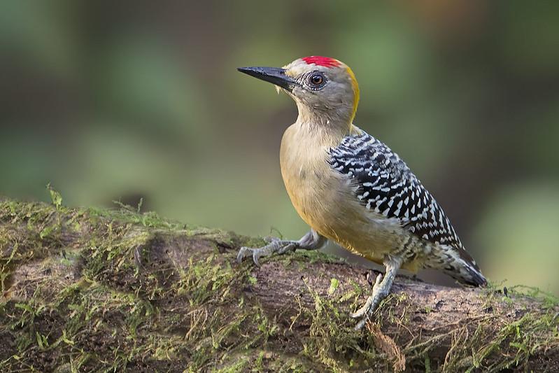 Hoffmann's Woodpecker ( Melanerpes hoffmannii)