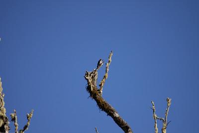 Acorn-Woodpecker_Savegre_CostaRica-0424