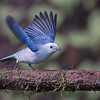 Blue-gray tanager (Thraupis episcopus )