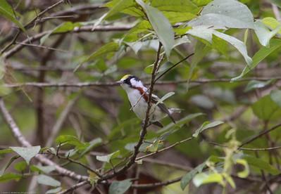 Chestnut-sided-Warbler_Rio-Tico_CostaRica-0957