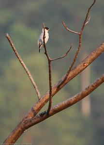 Black-crowned-Tityra_Drake-Bay_CostaRica-1063
