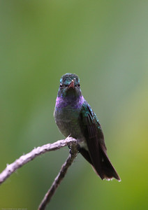 Charming-Hummingbird_Rio-Tico_CostaRica-1560