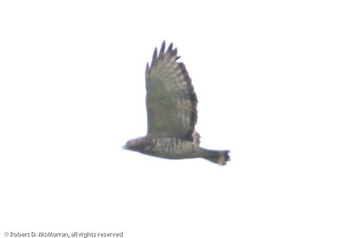 Broad-winged-Hawk_Sierpe_CostaRica-1498
