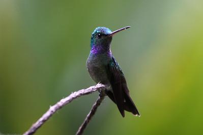 Charming-Hummingbird_Rio-Tico_CostaRica-1555