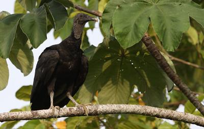 Black-Vulture_Drake-Bay_CostaRica-1033