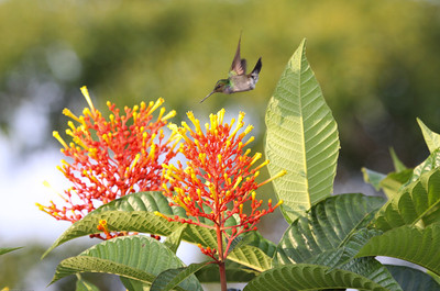 Charming-Hummingbird_Drake-Bay_CostaRica-1068