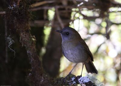 Black-billed-Nightingale-Thrush_Savegre_CostaRica-0664