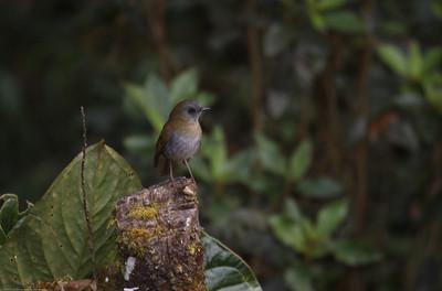 Black-billed-Nightingale-Thrush_Savegre_CostaRica-0670