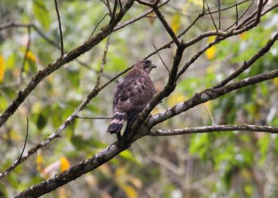 Broad-winged-Hawk_Rio-Tico_CostaRica-0967
