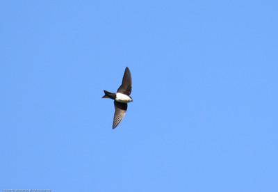 Blue-and-White-Swallow_Savegre_CostaRica-0857