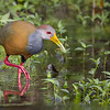 Grey-necked Wood-Rail (Aramides cajaneus)