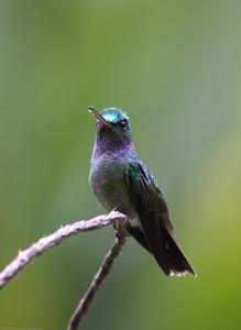 Charming-Hummingbird_Rio-Tico_CostaRica-1565
