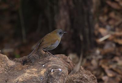 Black-billed-Nightingale-Thrush_Savegre_CostaRica-0671