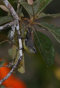 Bananaquit_Drake-Bay_CostaRica-1064