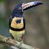 Collared Aracari (Pteroglossus torquatus )
