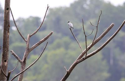 Black-crowned-Tityra_Drake-Bay_CostaRica-1017