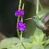 Rufous-tailed Hummingbird (Amazilia tzacatl)
