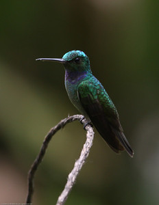 Charming-Hummingbird_Rio-Tico_CostaRica-1542