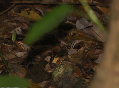 Buff-rumped-Warbler_Rio-Tico_CostaRica-1665