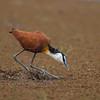 African Jacana (Actophilornis africanus)