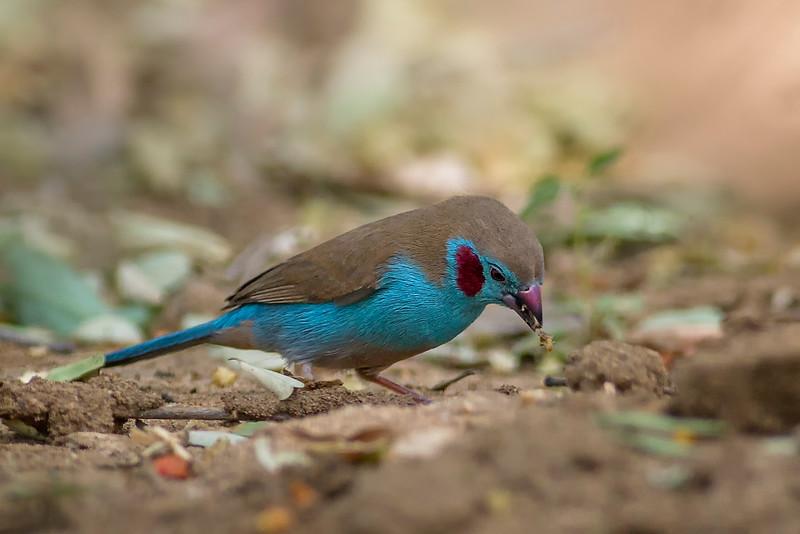 Red-cheeked Cordon-bleu  (Uraeginthus bengalus)