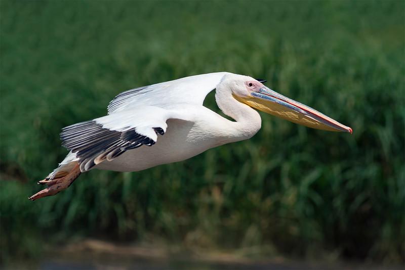 Great White Pelican (Pelecanus onocrotalus)