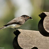 Black Phoebe with a horse fly in its beak