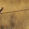 Western Bluebird perched on barbwire in an open field in Julian, CA