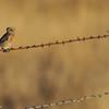 Western Bluebird perched on barbwire in an open field in Julian, CA