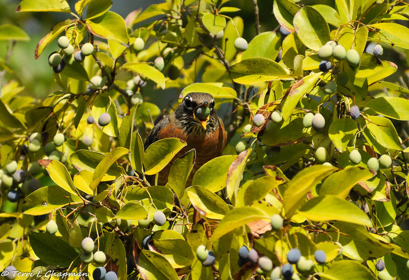 American Robin eating a berry from a Chinese Fringe Tree