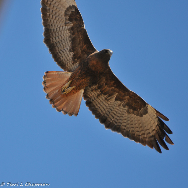 Red-tailed Hawk (dark morph). Although the wing is cut off in this picture, this image clearly shows the plummage difference in a dark morph red-tailed.