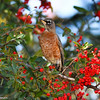 American Robin perched in a Firethorn bush