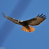 Red-tailed Hawk (dark morph)