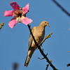 A Mourning Dove with a Silk Floss bloom