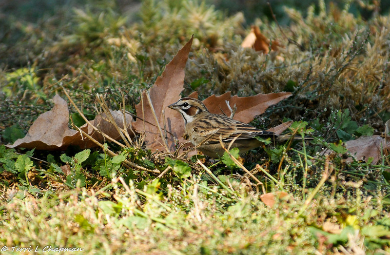 Lark Sparrow foraging on seeds - A fitting Fall image