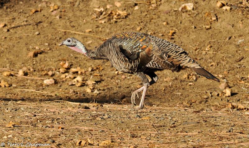 Wild Turkey photographed in Julian, CA