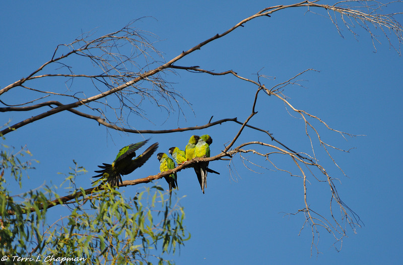 Black-hooded Parakeets