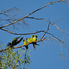 Black-hooded Parakeets
