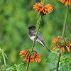Black Phoebe perched on a Lion's Tail bloom
