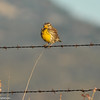 Western Meadowlark at sunrise