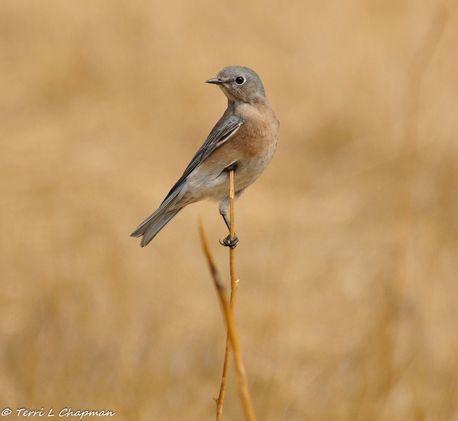 A Western Bluebird using a twig sticking up in the middle of a dry field to survey the field for insects