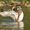 American Wigeon stretching his wings