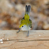 Chestnut-sided Warbler (female)